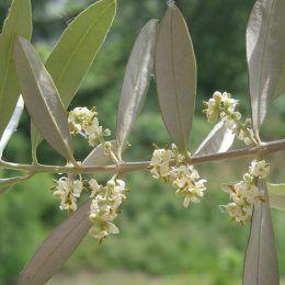 Hoa cây Ô liu