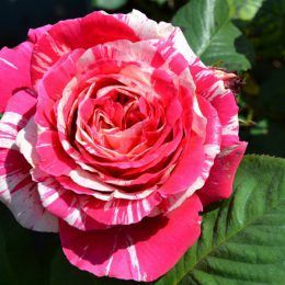 Hoa hồng Taif