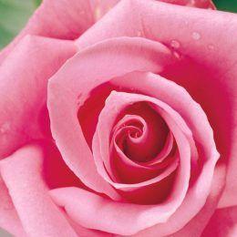 Quả quýt hồng