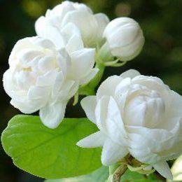 Hoa nhài Morocco