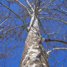 Hương gỗ trắng
