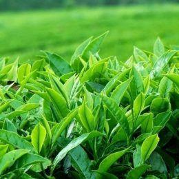 Lá trà Darieeling Ấn Độ