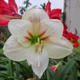 Amaryllis trắng