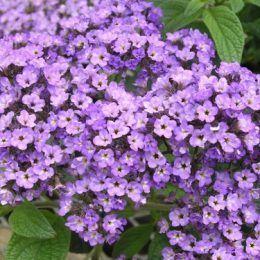 Hoa Heliotrope