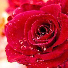 Hoa hồng tháng năm