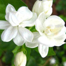 Hoa huệ trắng Ấn Độ