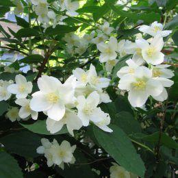 Hoa nhài ai cập