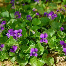 Lá Violet
