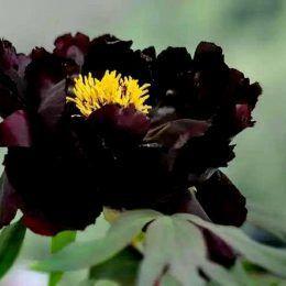 Hoa mẫu đơn đen